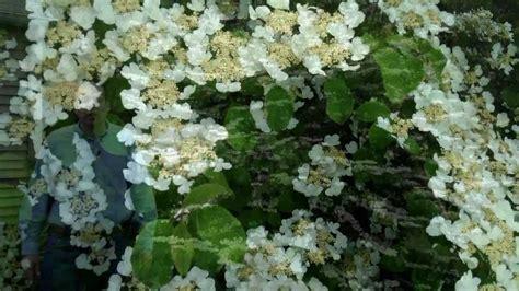 doublefile viburnum viburnum plicatum var tomentosum