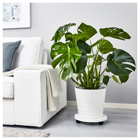 monstera ikea monstera potted plant swiss cheese plant 21 cm ikea