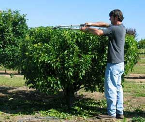 keeping fruit trees small plant fruit trees together and keep them small
