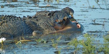 monster crocodile attacks fishing boat animals eating animals aussie croc eats bull shark