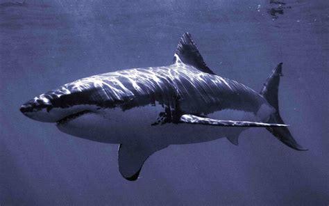 imagenes para fondo de pantalla de tiburones fondo de tiburones a resoluci 243 n 1440x900 fondo de