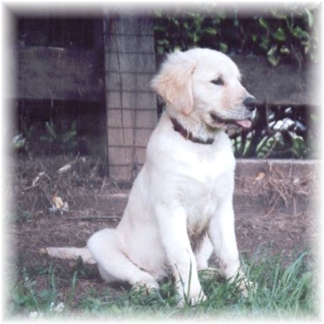 grooming golden retriever at home gap view golden retrievers grooming your golden retriever