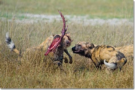 dogs in africa animal wildlife