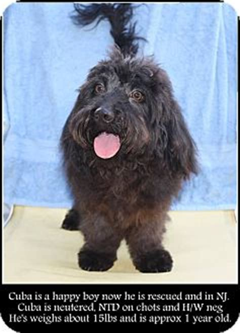 havanese rescue nj new jersey nj havanese poodle miniature mix meet bordentown nj cuba a puppy