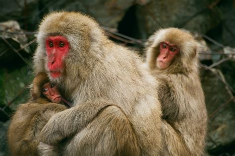monkey with macaque monkeys facts information habitat