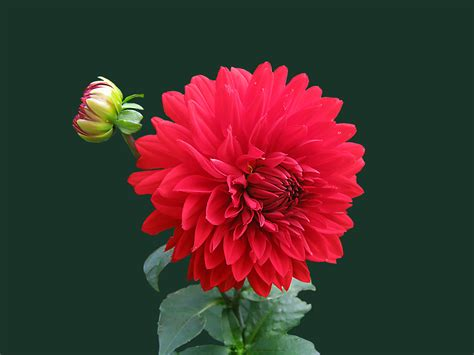 pictures of flowers dahlia flower 183 free stock photo