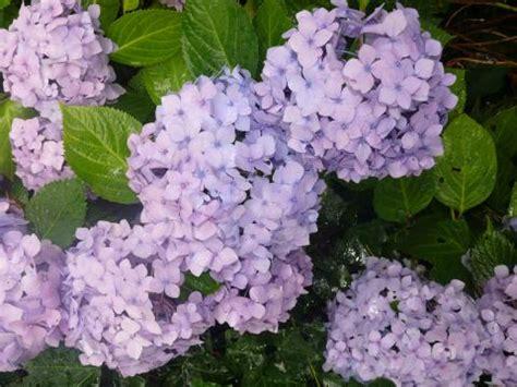 Hortensie Endless Summer Schneiden 4634 by Hortensien Schneiden Mein Sch 246 Ner Garten