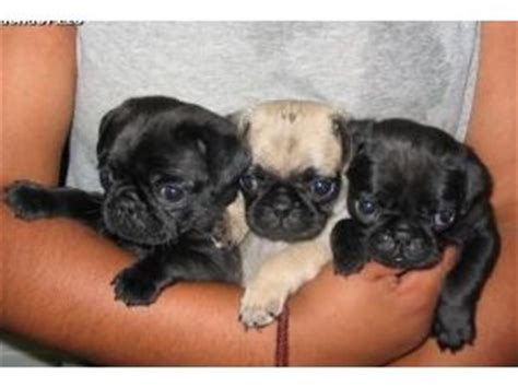 black pug puppies for adoption gorgeous fawn black coloured pug puppies for adoption northton dogs for sale