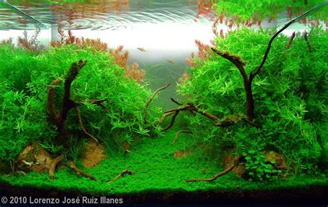 aquascape plants for sale 2010 aga aquascaping contest 32