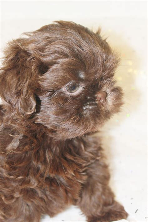 solid shih tzu puppies kc solid chocolate shih tzu puppies orpington kent pets4homes