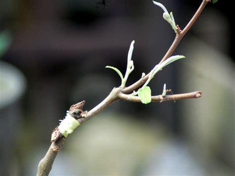 ficus benyamina grafting