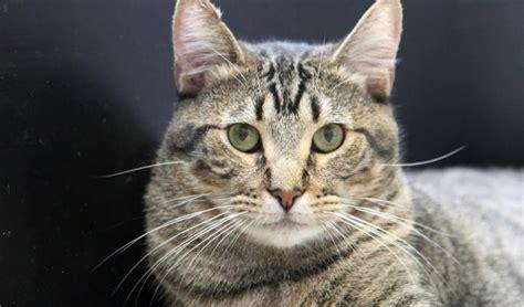 adopt handsome tabby cat lyall  loves dogs orange