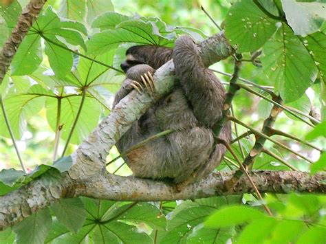 lets draw endangered species maned  toed sloth