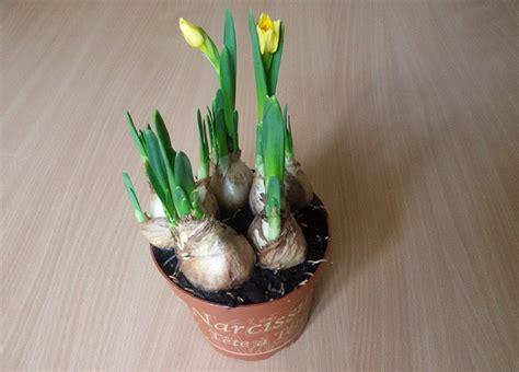 piantare bulbi tulipani in vaso bulbi per fioriture prolungate da inverno codiferro