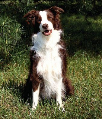 brown border collie puppies border collies collie and brown border collie on