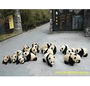 Giant Panda PhotosPanda Pictures Photos