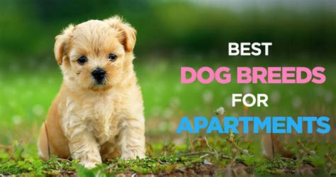 appartment dog best dogs for apartments finding the perfect apartment