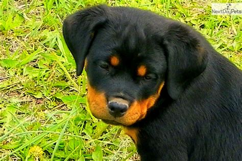 rottweiler puppies for sale in utah ronnah rottweiler puppy for sale near provo orem utah 3253d4fd 4cc1