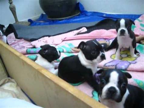 boston terrier puppies denver colorado boston terrier puppies dogs for sale in denver colorado co 19breeders fort