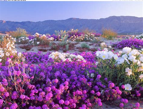 Borrego Desert Flowers | places to wander the wildflowers this spring the