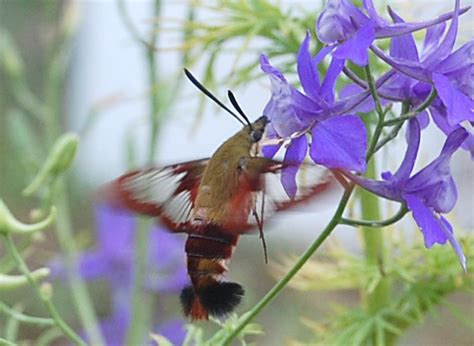 hummingbird clearwing what s that bug