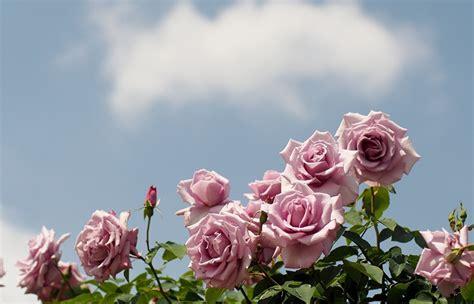 imagenes de rosas descargar gratis fondos de pantalla rosas cielo flores descargar imagenes