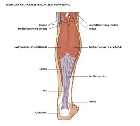calf diagram calf anatomy related keywords calf anatomy