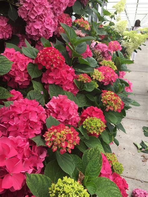 how to care for your hydrangeas chyka
