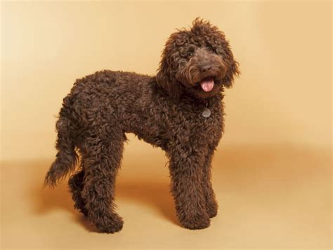 indiana doodle owners 89 best images about labradoodle on coats