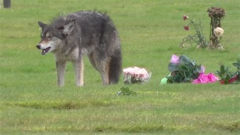 coyote with dogs vs coyote www pixshark images galleries with a bite