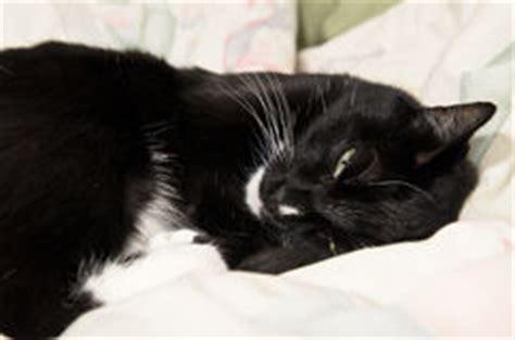 visage de chat noir et blanc de photo stock