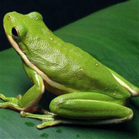 how to get rid of frogs in backyard american green tree frog natural history on the net