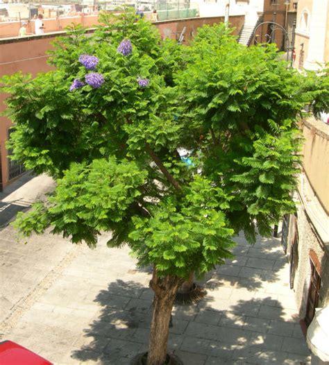 alberi da vaso piante da vaso jacaranda falso palissandro jacaranda