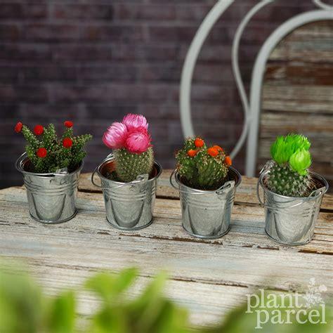 mini disco cactus mix house office  indoor pot