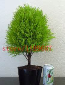 Japanese Garden Indoor - popular cypress bonsai buy cheap cypress bonsai lots from china cypress bonsai suppliers on