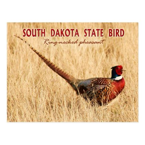state bird of south dakota south dakota state bird ring necked pheasant postcard