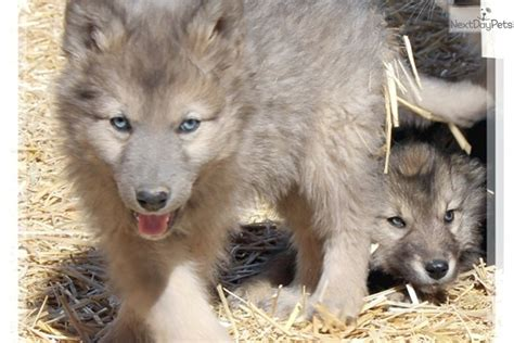 hybrid wolf puppies for sale giants wolf hybrid puppy for sale near las vegas nevada adaaebda 2f41
