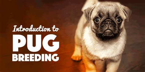 how to breed a pug pugs introduction to pug
