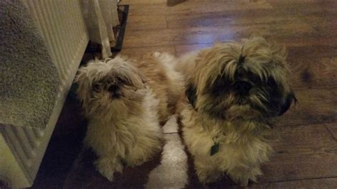 shih tzu puppies free to home 2 shih tzu free to a home sunderland tyne and wear pets4homes