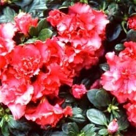 azalea da interno azalea da interno azalea indica azalea indica piante