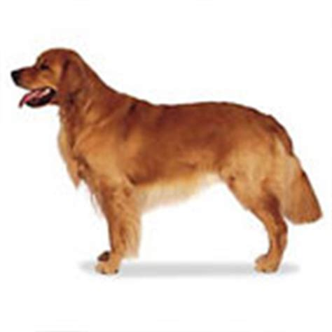 golden retriever hip problems golden retriever breed health