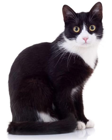 imagenes blanco y negro gatitos ranking de 191 cu 225 l es tu color favorito de gato listas en