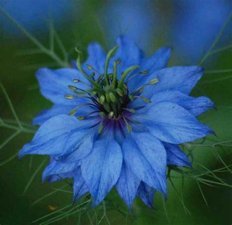 growing nigella  seed   cut flower garden