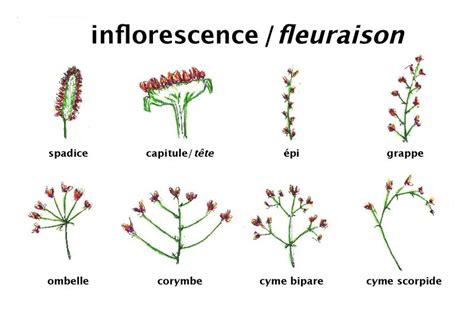 diagramme tige feuille exercice file fleuraison pdf wikimedia commons
