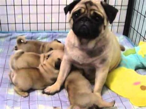 pug with no the happy babies pug with pug