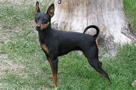 min pin puppy miniature pinscher puppies for sale from reputable breeders