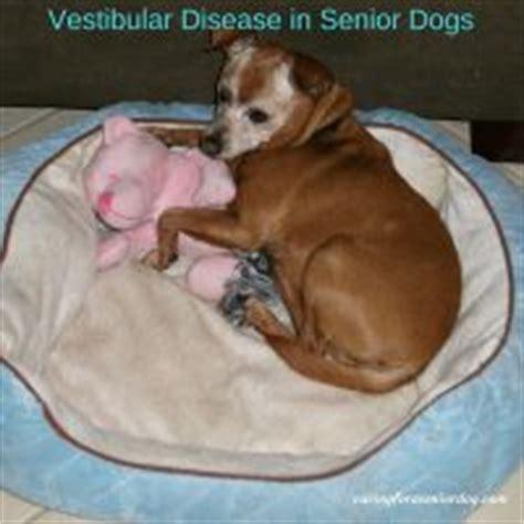 vestibular disease in dogs vestibular in dogs caring for a senior