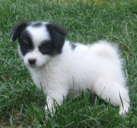 pictures of papillon dogs papillon puppies pictures breeds picture