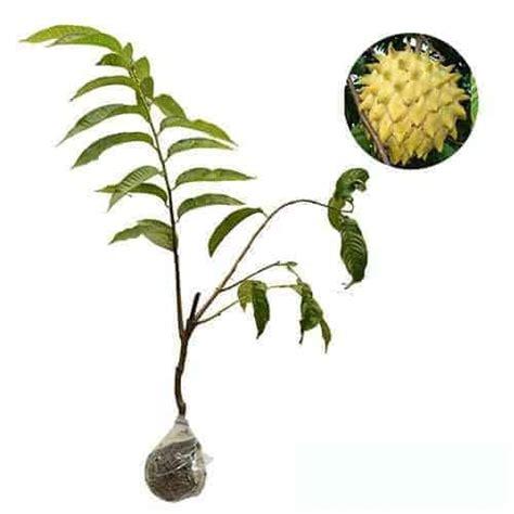 Bibit Srikaya Nanas jual tanaman biriba bibit