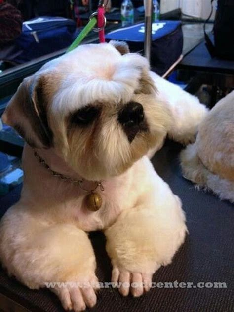 different shih tzu cuts 482 best grooming looks styles images on grooming styles